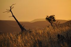 Bottle tree (pachypodium lealii) in the evening. Stock Image