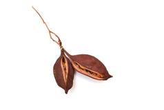 Bottle tree seeds. Capsule follicle fruit isolated royalty free stock image