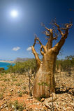 Bottle tree, Socotra Royalty Free Stock Photography