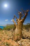 Bottle tree, Socotra royalty free stock photography