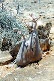 Bottle tree. Soqotra island in Yemen, Indian Ocean stock images