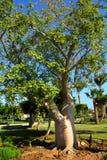 Bottle trees adenium obesum socotra Royalty Free Stock Images