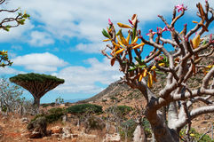 Bottle trees overview with Dragon Blood trees forest in the background, Homhil Plateau, Socotra, Yemen royalty free stock photography