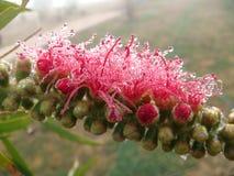 bottlebrush отпочковывается цветок Стоковые Изображения RF