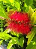 Bottlebrush цветка стоковая фотография