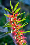 Bottlebrush Royalty Free Stock Image