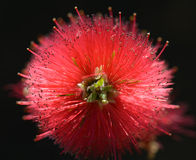 Bottlebrush Royaltyfria Foton