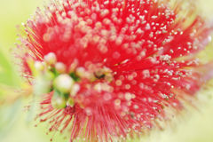 Bottlebrush Stock Afbeelding