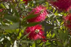 Bottlebrush Fotografie Stock
