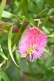 Bottlebrush Stock Fotografie