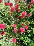 Bottlebrush in bloom. Bottlebrush shrub in bloom royalty free stock photography