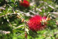 Bottlebrush-Blume Lizenzfreies Stockfoto