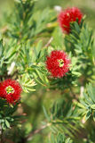 Bottlebrush-Blume Stockbilder