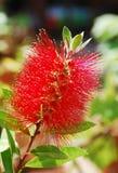 Bottlebrush-Blume Lizenzfreies Stockbild