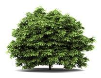 Bottlebrush buckeye bush  on white Royalty Free Stock Photography
