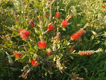 Bottlebrush Callistemon genus. Of the family Myrtaceae Royalty Free Stock Images