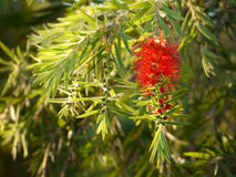 Bottlebrush Callistemon kwiat i gałąź Fotografia Stock