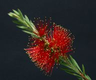 Bottlebrush Callistemon Red black background Stock Images