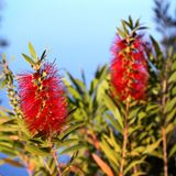 Bottlebrush Callistemon Royalty Free Stock Photos