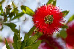 Bottlebrush (Callistermoon) plant with bee. A bottelbrush (Callistemoon) plant with busy bee royalty free stock photos