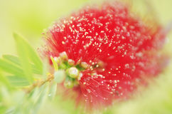 Bottlebrush Stock Photography