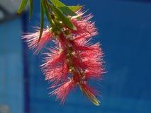 Bottlebrush cramoisi sur Crète Images libres de droits