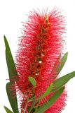 Bottlebrush flower. Australian flowering Bottlebrush isolated on white background royalty free stock photos