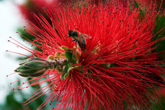 Bottlebrush flower in blooming at sun spring day Stock Images