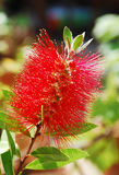 Bottlebrush Flower Royalty Free Stock Image