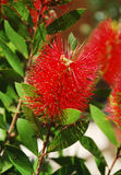 Bottlebrush Flower Stock Photos
