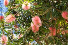Bottlebrush flower Callistemon in pink Champagne shade with go. Ld tips growing in Western Australia royalty free stock image