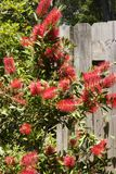 Bottlebrush Flower Plant Stock Photo