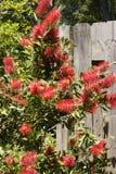 Bottlebrush Flower Plant stock photo
