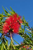 Bottlebrush flower plant tree Callistemom Royalty Free Stock Photos