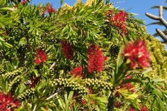 Bottlebrush flower plant tree and seeds Callistemon and belong to the family Myrtaceae. Western Australian Native plant Bottlebrush in flower wattle Callistemon Stock Photos