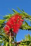 Bottlebrush flower plant tree Stock Image