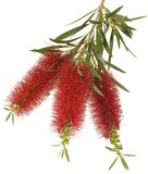 bottlebrush kwiat Obraz Stock