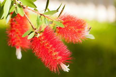 Bottlebrush kwiaty Fotografia Stock