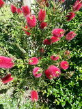 Bottlebrush na flor Fotografia de Stock Royalty Free