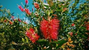 Bottlebrush, Nuovo Galles del Sud, Australia Immagini Stock Libere da Diritti