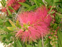 Bottlebrush Plant Royalty Free Stock Images