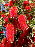 Bottlebrush Tree, Callistemon Royalty Free Stock Photography