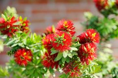Bottlebrush Tree, Callistemon Royalty Free Stock Images