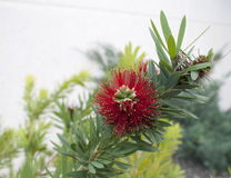 Bottlebrush tree detail Stock Photography