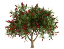 Bottlebrush tree isolated on white Royalty Free Stock Photography