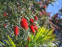 The bottlebrush tree red flowers. Royalty Free Stock Photos