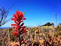 Bottlebrush wild flower Stock Images