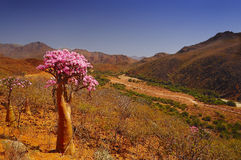 Bottled endemic tree in the valley. Landscape. Yemen Endemic plants. The island of Socotra. All in bright colors of pink, bottle endemic tree overlooking the stock image