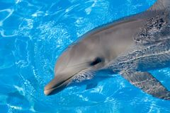 bottlenose δελφίνι Στοκ φωτογραφίες με δικαίωμα ελεύθερης χρήσης