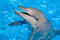 bottlenose δελφίνι Στοκ εικόνα με δικαίωμα ελεύθερης χρήσης